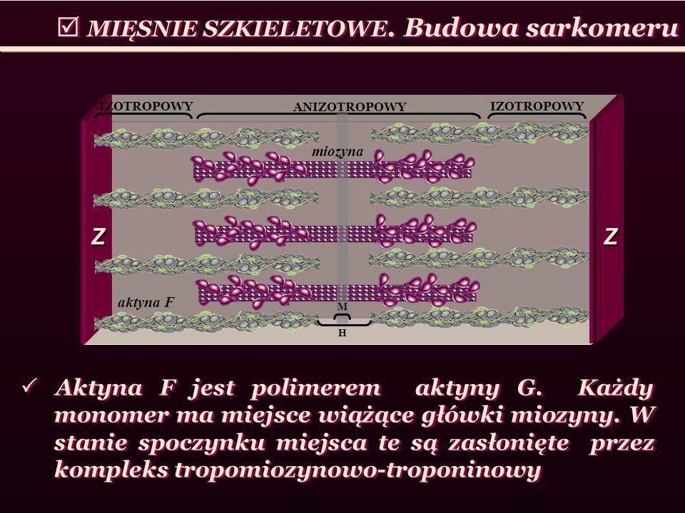 MIĘSNIE SZKIELETOWE. Budowa sarkomeru IZOTROPOWY ANIZOTROPOWY H M aktyna F miozyna Z Z Z Z Aktyna F jest polimerem aktyny G. Każdy monomer ma miejsce