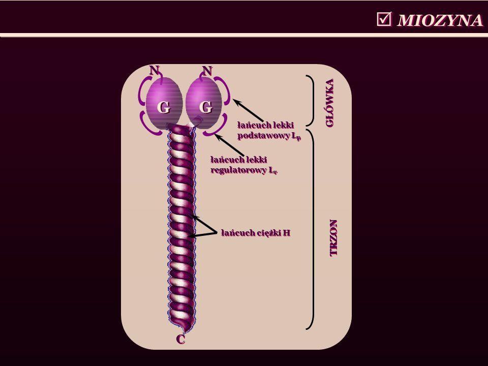MIOZYNA G G C C G G N N N N łańcuch ciężki H łańcuch lekki podstawowy L p łańcuch lekki regulatorowy L r TRZON GŁÓWKA