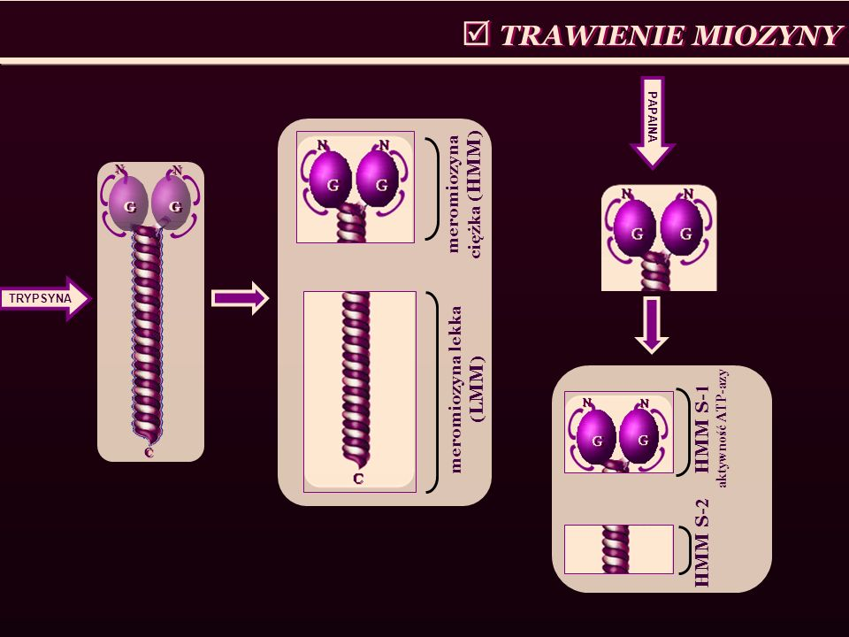 TRAWIENIE MIOZYNY G G C C G G N N N N TRYPSYNA meromiozyna ciężka ( HMM ) meromiozyna lekka ( LMM ) PAPAINA HMM S- 1 aktywność ATP-azy HMM S- 2