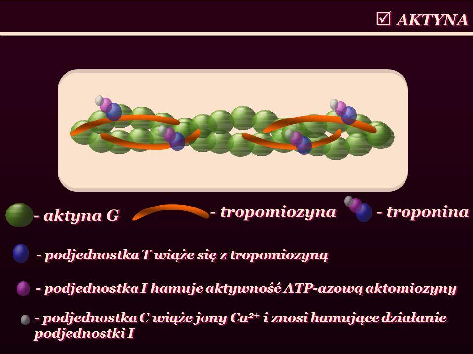 AKTYNA - podjednostka T wiąże się z tropomiozyną - aktyna G - tropomiozyna - troponina - podjednostka I hamuje aktywność ATP-azową aktomiozyny - podje
