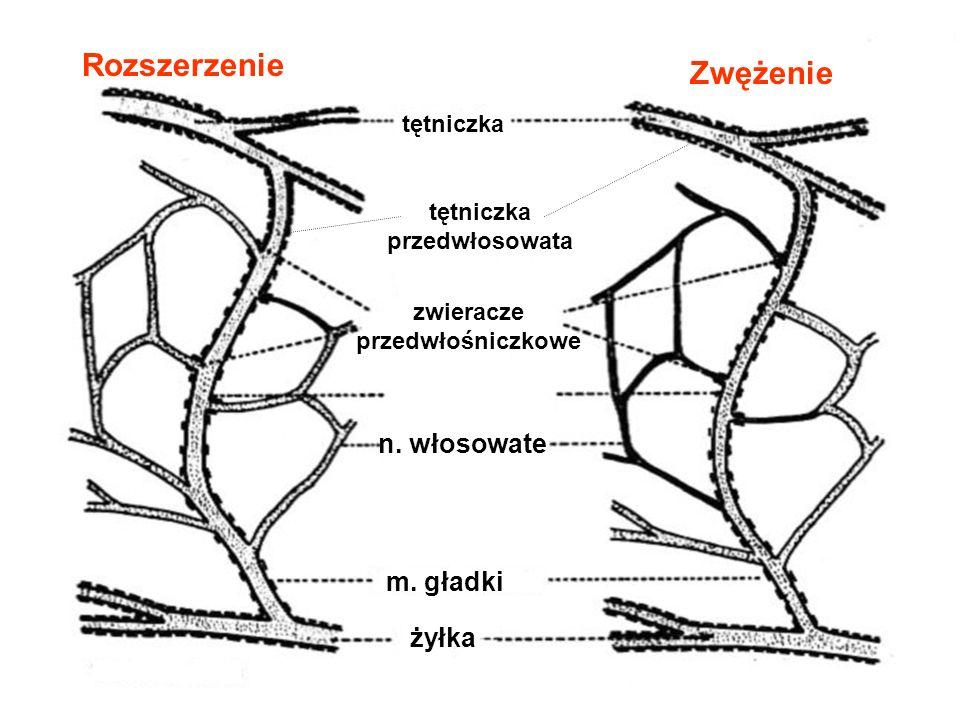 żyłka m. gładki zwieracze przedwłośniczkowe tętniczka n. włosowate Rozszerzenie Zwężenie tętniczka przedwłosowata