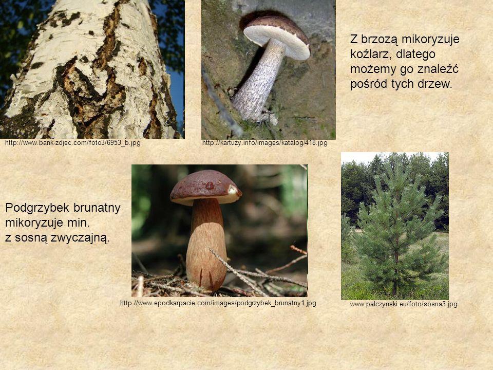 http://www.bank-zdjec.com/foto3/6953_b.jpghttp://kartuzy.info/images/katalog/418.jpg Podgrzybek brunatny mikoryzuje min. z sosną zwyczajną. Z brzozą m