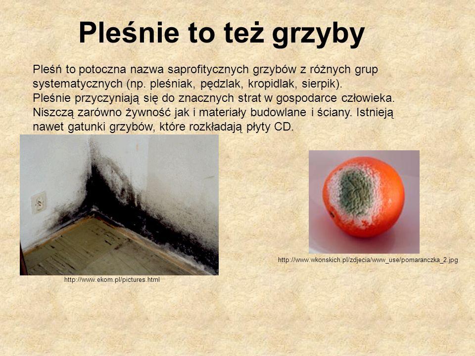 http://www.ekom.pl/pictures.html http://www.wkonskich.pl/zdjecia/www_use/pomaranczka_2.jpg Pleśń to potoczna nazwa saprofitycznych grzybów z różnych g