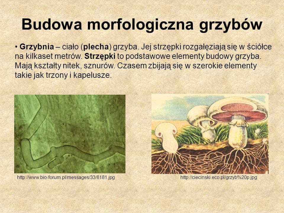http://ciecinski.eco.pl/grzyb%20p.jpg Grzybnia – ciało (plecha) grzyba. Jej strzępki rozgałęziają się w ściółce na kilkaset metrów. Strzępki to podsta