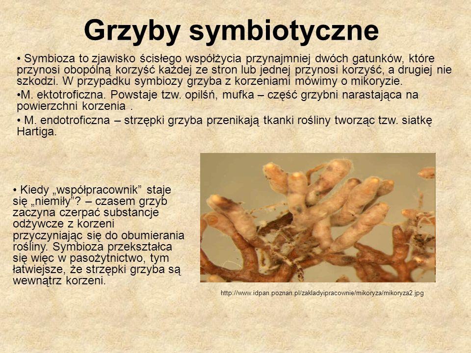 Grzyby symbiotyczne Symbioza to zjawisko ścisłego współżycia przynajmniej dwóch gatunków, które przynosi obopólną korzyść każdej ze stron lub jednej p