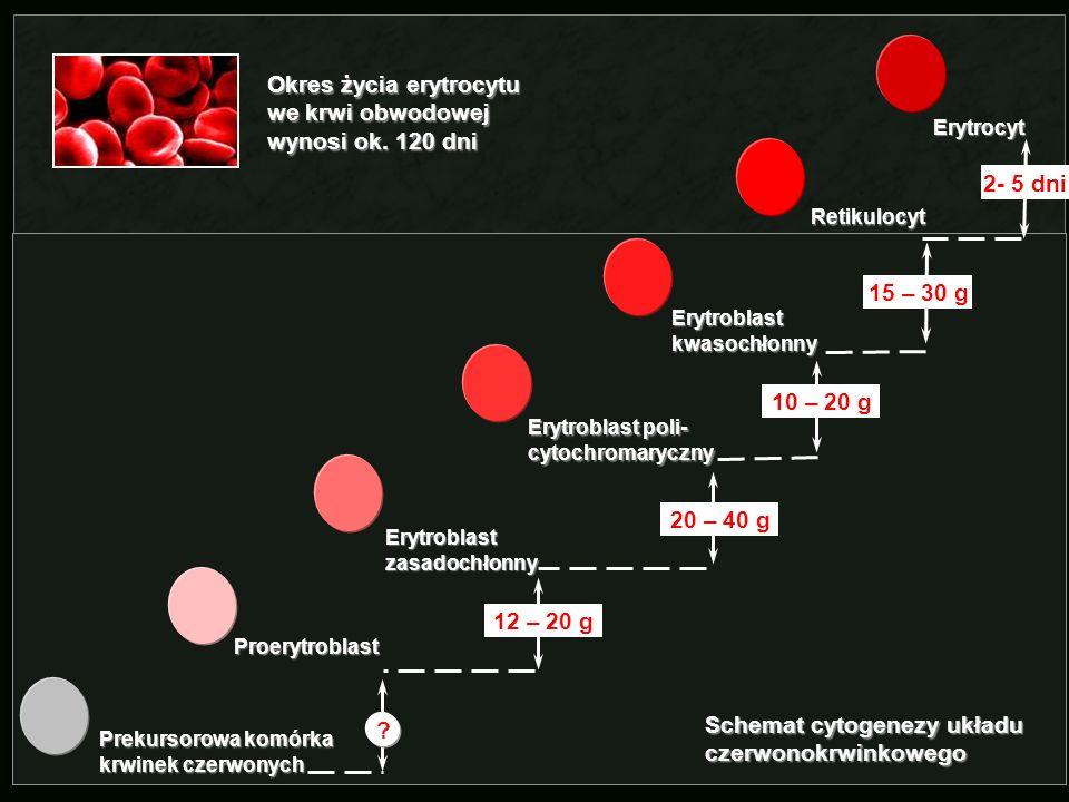 Schemat cytogenezy układu czerwonokrwinkowego Prekursorowa komórka krwinek czerwonych Proerytroblast Erytroblast zasadochłonny Erytroblast poli- cytoc
