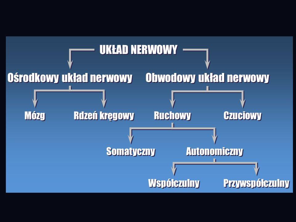 UKŁAD NERWOWY Ośrodkowy układ nerwowy Obwodowy układ nerwowy Mózg Rdzeń kręgowy Ruchowy Czuciowy Somatyczny Autonomiczny Współczulny Przywspółczulny
