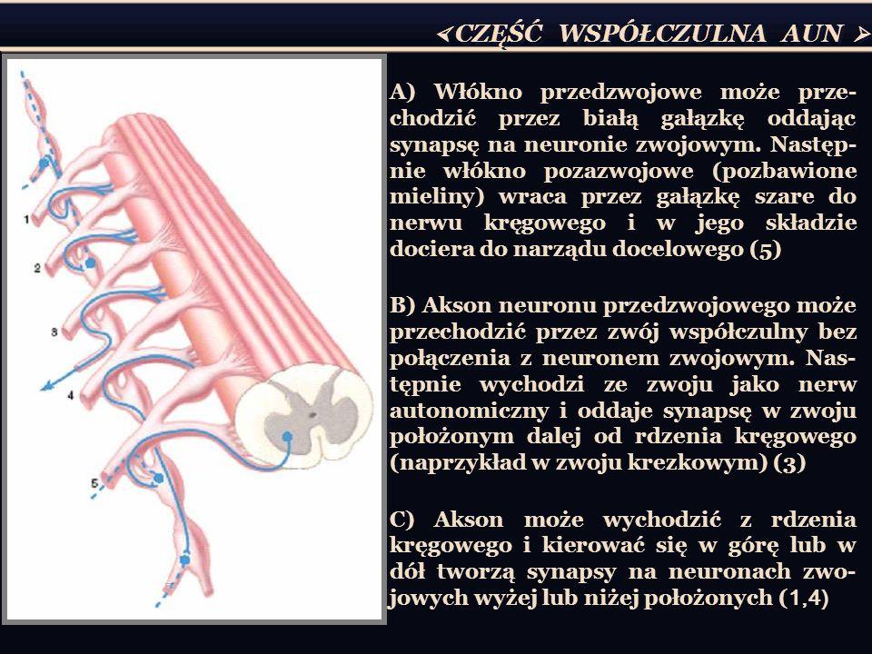 A) Włókno przedzwojowe może prze- chodzić przez białą gałązkę oddając synapsę na neuronie zwojowym. Następ- nie włókno pozazwojowe (pozbawione mieliny
