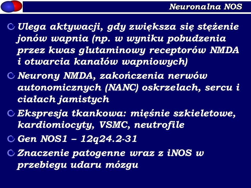 Neuronalna NOS Ulega aktywacji, gdy zwiększa się stężenie jonów wapnia (np. w wyniku pobudzenia przez kwas glutaminowy receptorów NMDA i otwarcia kana