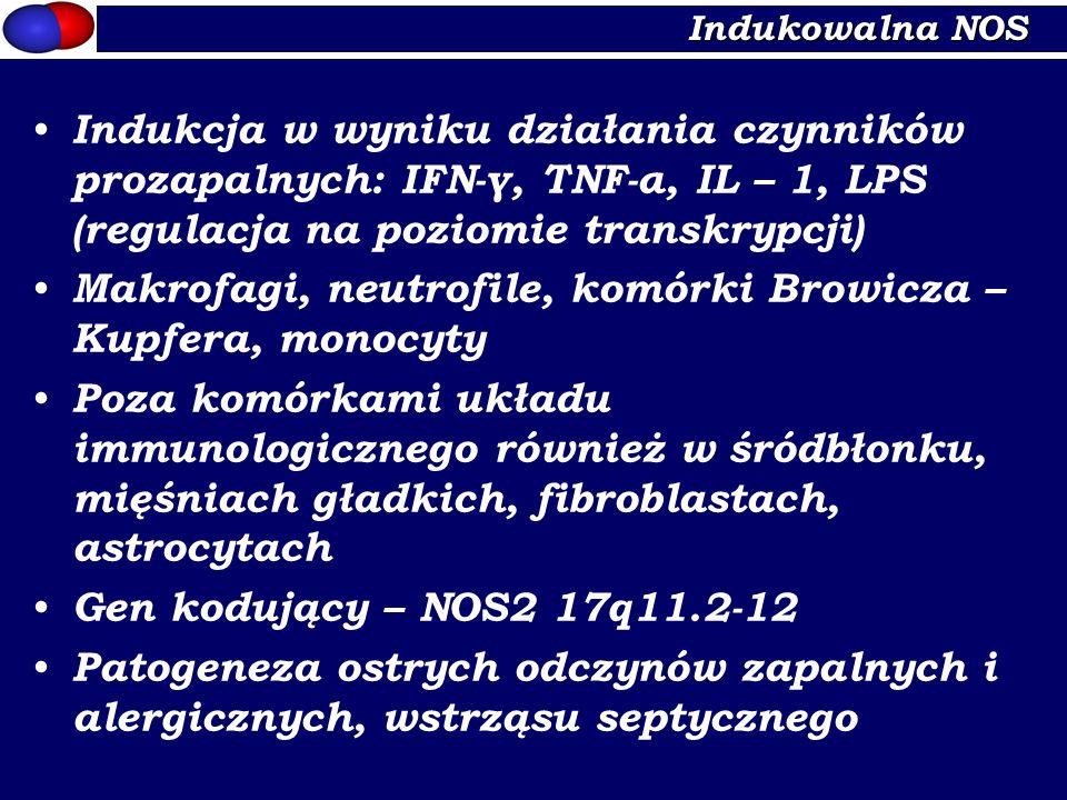 Indukowalna NOS Indukcja w wyniku działania czynników prozapalnych: IFN-γ, TNF-α, IL – 1, LPS (regulacja na poziomie transkrypcji) Makrofagi, neutrofi