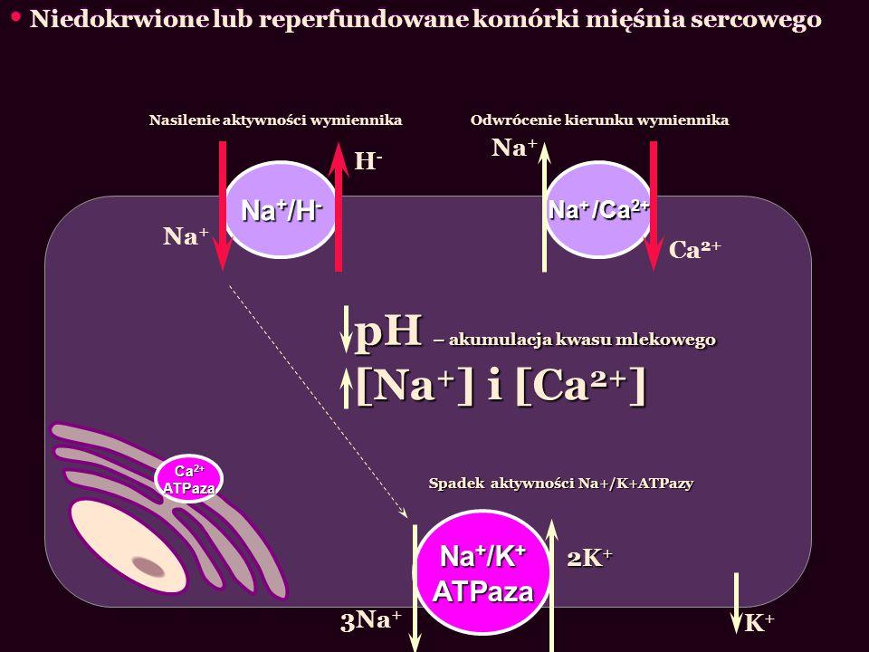 Niedokrwione lub reperfundowane komórki mięśnia sercowego Na + /H - Na + /Ca 2+ Na + H-H- Ca 2+ Na + /K + ATPaza 3Na + 2K + K+K+ Spadek aktywności Na+