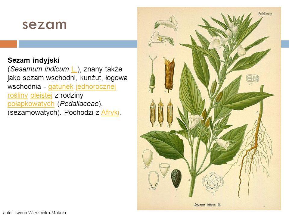 sezam Sezam indyjski (Sesamum indicum L.), znany także jako sezam wschodni, kunżut, łogowa wschodnia - gatunek jednorocznej rośliny oleistej z rodziny