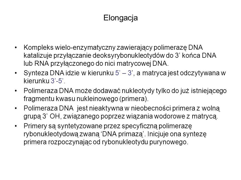 Elongacja Kompleks wielo-enzymatyczny zawierający polimerazę DNA katalizuje przyłączanie deoksyrybonukleotydów do 3 końca DNA lub RNA przyłączonego do