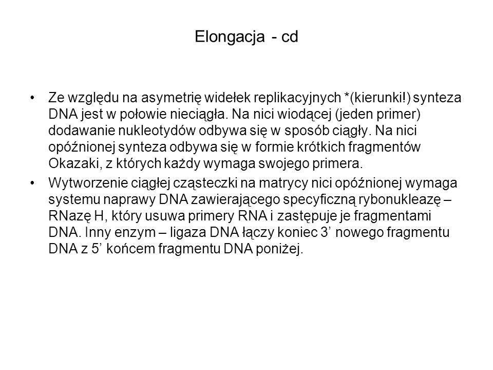 Elongacja - cd Ze względu na asymetrię widełek replikacyjnych *(kierunki!) synteza DNA jest w połowie nieciągła. Na nici wiodącej (jeden primer) dodaw