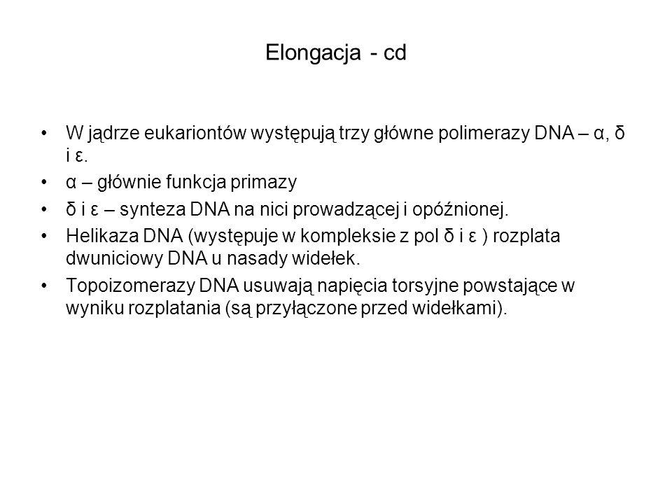 Elongacja - cd W jądrze eukariontów występują trzy główne polimerazy DNA – α, δ i ε. α – głównie funkcja primazy δ i ε – synteza DNA na nici prowadząc