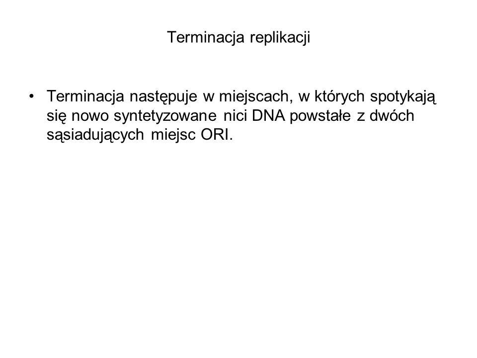 Terminacja replikacji Terminacja następuje w miejscach, w których spotykają się nowo syntetyzowane nici DNA powstałe z dwóch sąsiadujących miejsc ORI.