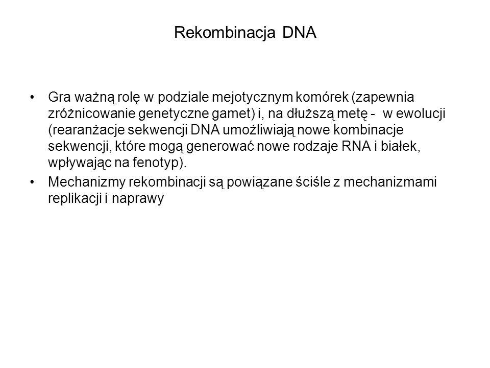 Rekombinacja DNA Gra ważną rolę w podziale mejotycznym komórek (zapewnia zróżnicowanie genetyczne gamet) i, na dłuższą metę - w ewolucji (rearanżacje