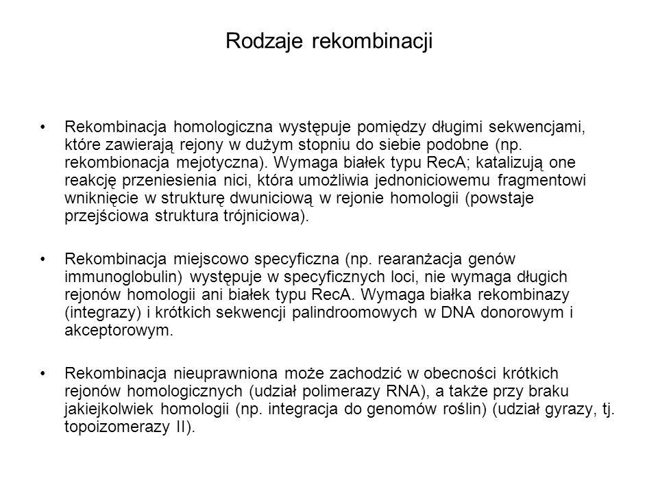 Rodzaje rekombinacji Rekombinacja homologiczna występuje pomiędzy długimi sekwencjami, które zawierają rejony w dużym stopniu do siebie podobne (np. r