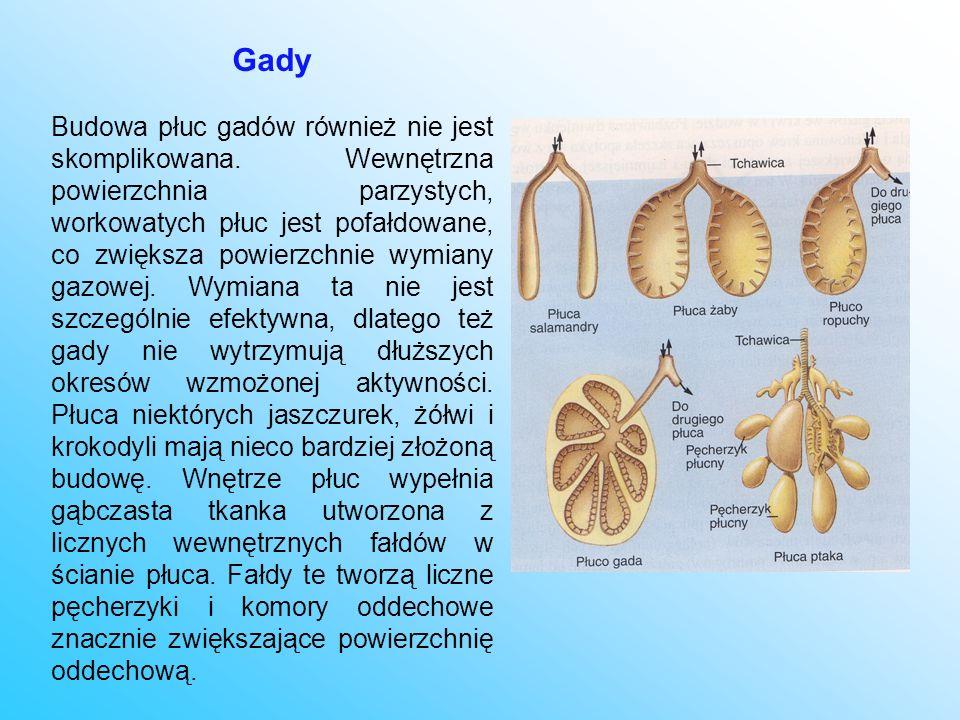 Gady Budowa płuc gadów również nie jest skomplikowana. Wewnętrzna powierzchnia parzystych, workowatych płuc jest pofałdowane, co zwiększa powierzchnie