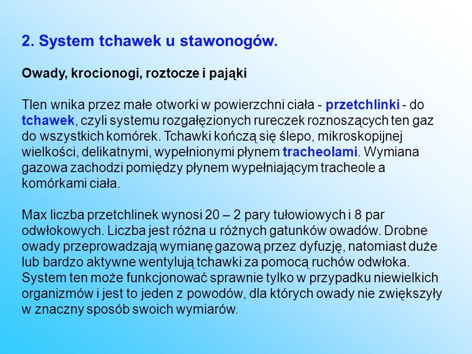 2. System tchawek u stawonogów. Owady, krocionogi, roztocze i pająki Tlen wnika przez małe otworki w powierzchni ciała - przetchlinki - do tchawek, cz