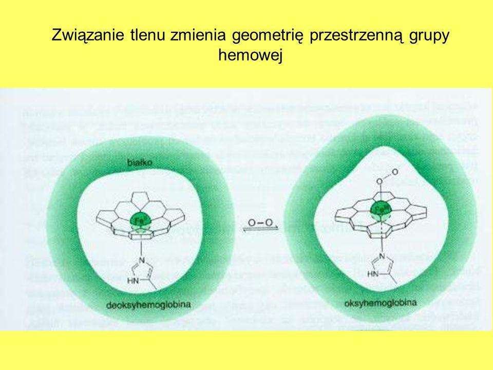 Związanie tlenu zmienia geometrię przestrzenną grupy hemowej
