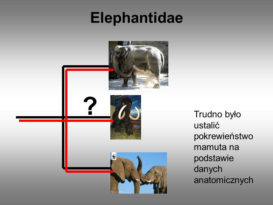 ? Elephantidae Trudno było ustalić pokrewieństwo mamuta na podstawie danych anatomicznych
