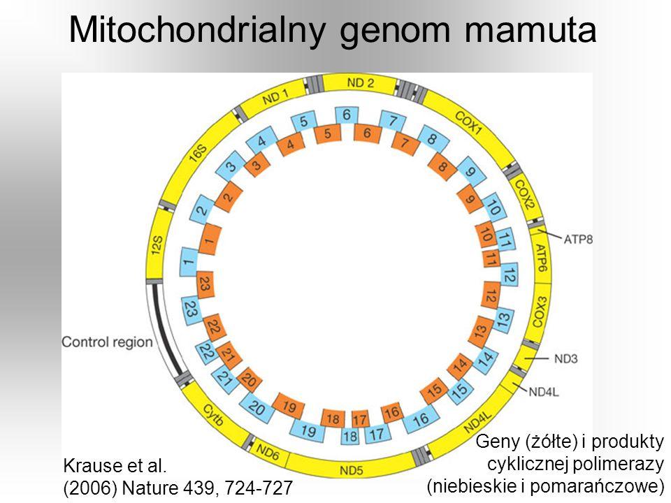 Mitochondrialny genom mamuta Geny (żółte) i produkty cyklicznej polimerazy (niebieskie i pomarańczowe) Krause et al. (2006) Nature 439, 724-727