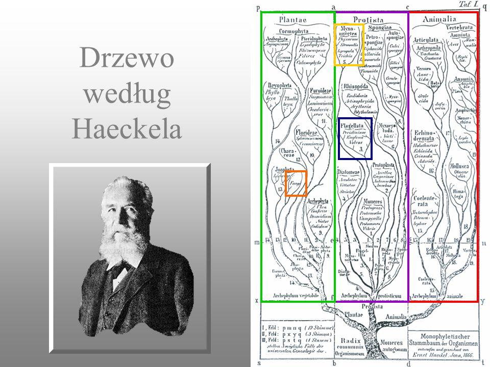 Drzewo według Haeckela