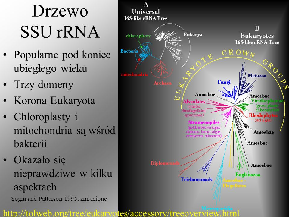 Drzewo SSU rRNA Popularne pod koniec ubiegłego wieku Trzy domeny Korona Eukaryota Chloroplasty i mitochondria są wśród bakterii Okazało się nieprawdzi