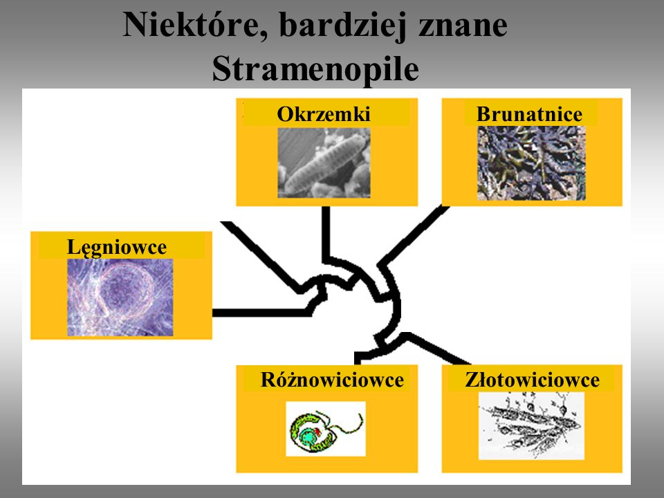 Niektóre, bardziej znane Stramenopile Brunatnice Różnowiciowce Okrzemki Lęgniowce Złotowiciowce