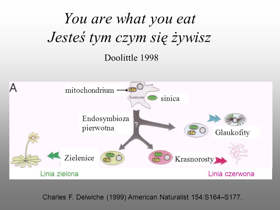 You are what you eat Jesteś tym czym się żywisz Doolittle 1998 Charles F. Delwiche (1999) American Naturalist 154:S164–S177. Endosymbioza pierwotna Gl
