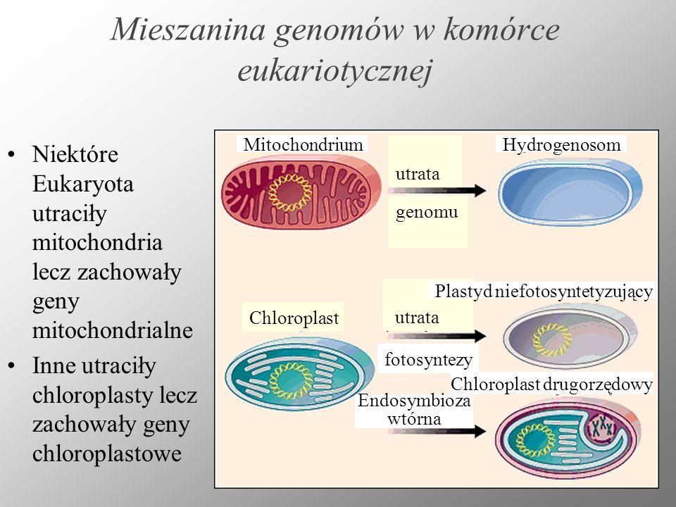 Mieszanina genomów w komórce eukariotycznej Niektóre Eukaryota utraciły mitochondria lecz zachowały geny mitochondrialne Inne utraciły chloroplasty le