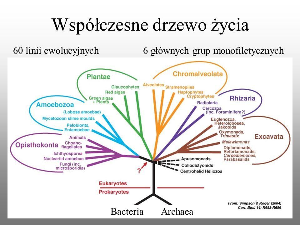 Współczesne drzewo życia 6 głównych grup monofiletycznych60 linii ewolucyjnych Bacteria Archaea