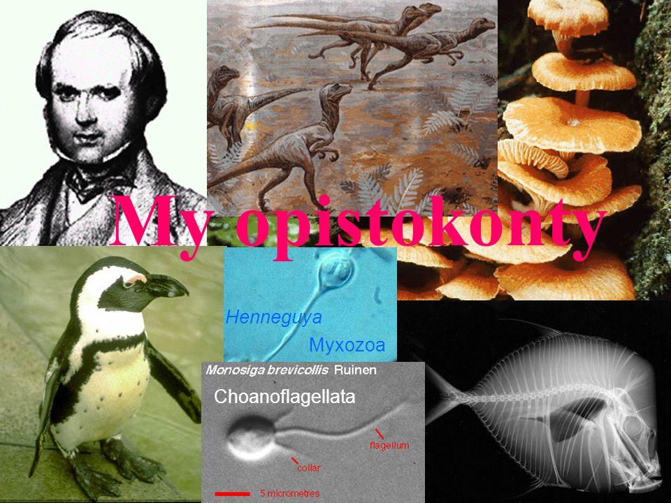Choanoflagellata Myxozoa Henneguya My opistokonty