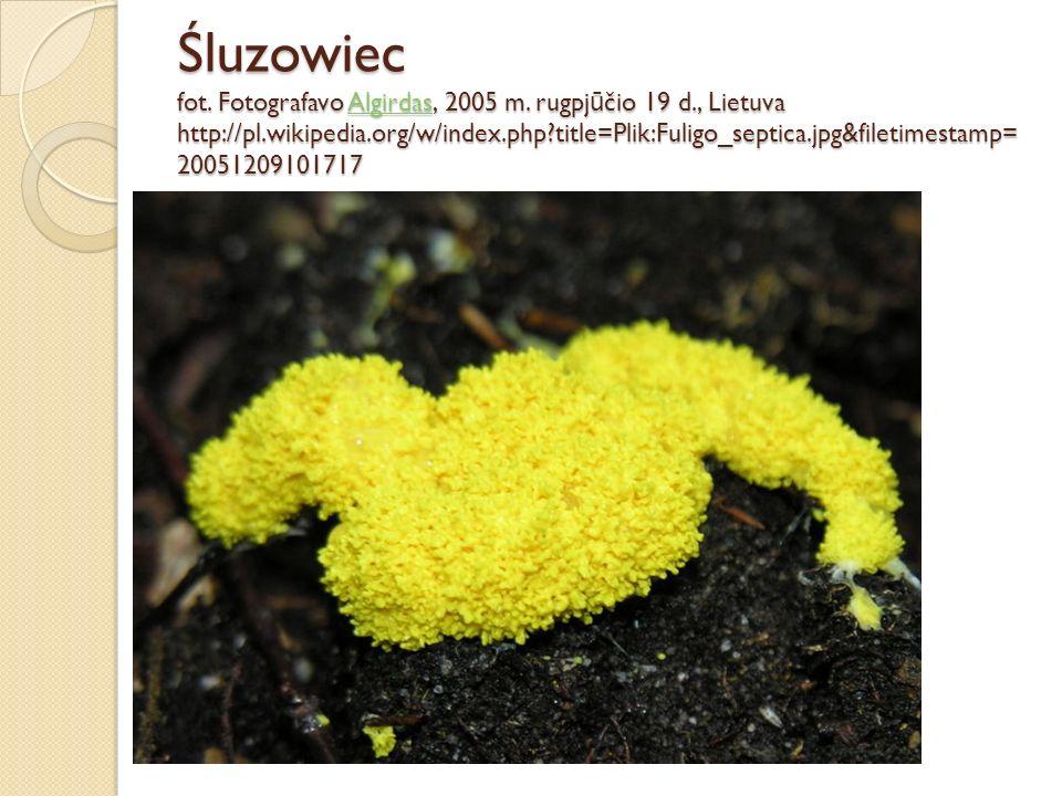 Śluzowiec fot. Fotografavo Algirdas, 2005 m. rugpj ū čio 19 d., Lietuva http://pl.wikipedia.org/w/index.php?title=Plik:Fuligo_septica.jpg&filetimestam