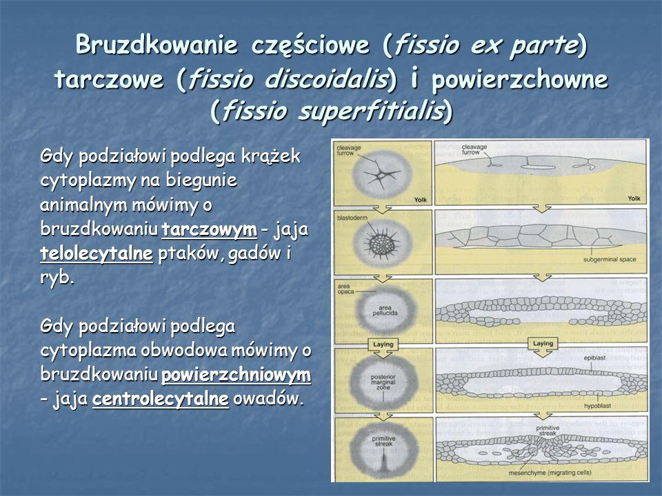 Bruzdkowanie częściowe (fissio ex parte) tarczowe (fissio discoidalis) i powierzchowne (fissio superfitialis) Gdy podziałowi podlega krążek cytoplazmy