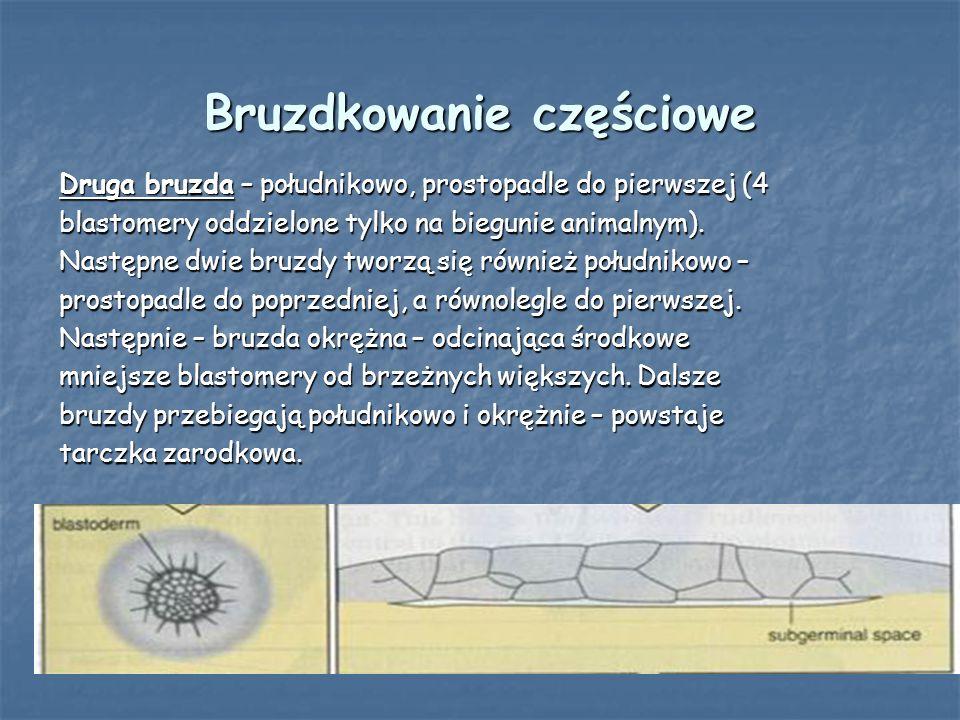 Bruzdkowanie częściowe Druga bruzda – południkowo, prostopadle do pierwszej (4 blastomery oddzielone tylko na biegunie animalnym). Następne dwie bruzd