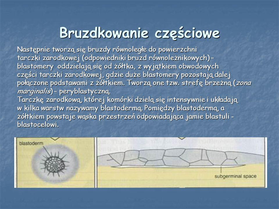 Bruzdkowanie częściowe Następnie tworzą się bruzdy równoległe do powierzchni tarczki zarodkowej (odpowiedniki bruzd równoleżnikowych) – blastomery odd