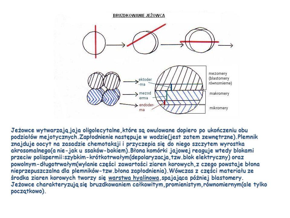 Jeżowce wytwarzają jaja oligolecytalne,które są owulowane dopiero po ukończeniu obu podziałów mejotycznych.Zapłodnienie następuje w wodzie(jest zatem