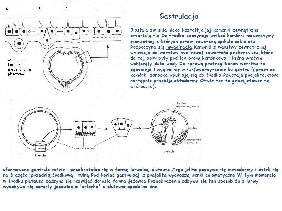 Gastrulacja Blastula zmienia nieco kształt,a jej komórki zewnętrzne orzęsiają się.Do środka zaczynają wnikać komórki mezenchymy pierwotnej,z których p