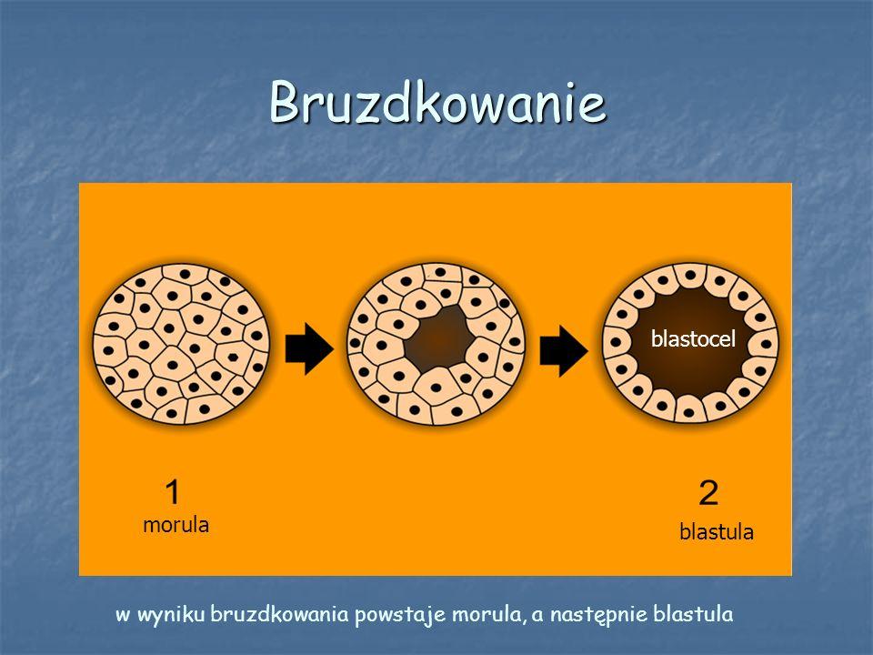 Bruzdkowanie morula blastula blastocel w wyniku bruzdkowania powstaje morula, a następnie blastula