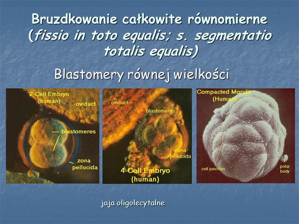 Bruzdkowanie całkowite równomierne (fissio in toto equalis; s. segmentatio totalis equalis) Blastomery równej wielkości Blastomery równej wielkości ja