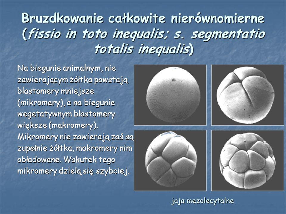 Cykl komórkowy blastomerów Podziały bruzdkowania mogą zachodzić w sposób synchroniczny (u jeżowców) - wszystkie blastomery dzielą się równocześnie, nie ma stadiów o nieparzystej liczbie komórek) i asynchroniczny (u ssaków wyższych) - blastomery nie dzielą się jednocześnie, istnieją stadia o nieparzystej liczbie komórek).