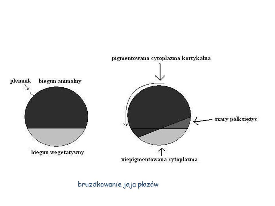 Gastrulacja Proces, w którym blastomery o podobnych właściwościach rozwojowych zaczynają się skupiać i zajmują określone definitywne miejsca, tworząc płaszczyzny nabłonkowe nazywane listkami zarodkowymi.
