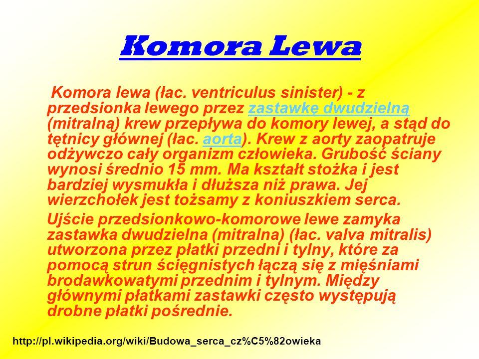 Komora Lewa Komora lewa (łac. ventriculus sinister) - z przedsionka lewego przez zastawkę dwudzielną (mitralną) krew przepływa do komory lewej, a stąd