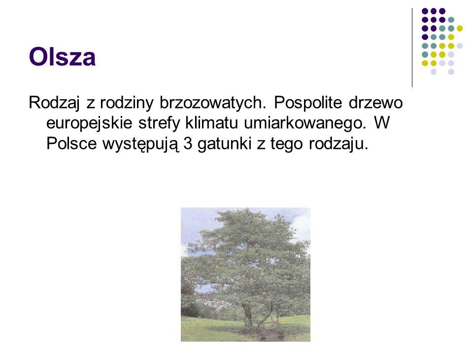 Olsza Rodzaj z rodziny brzozowatych. Pospolite drzewo europejskie strefy klimatu umiarkowanego. W Polsce występują 3 gatunki z tego rodzaju.