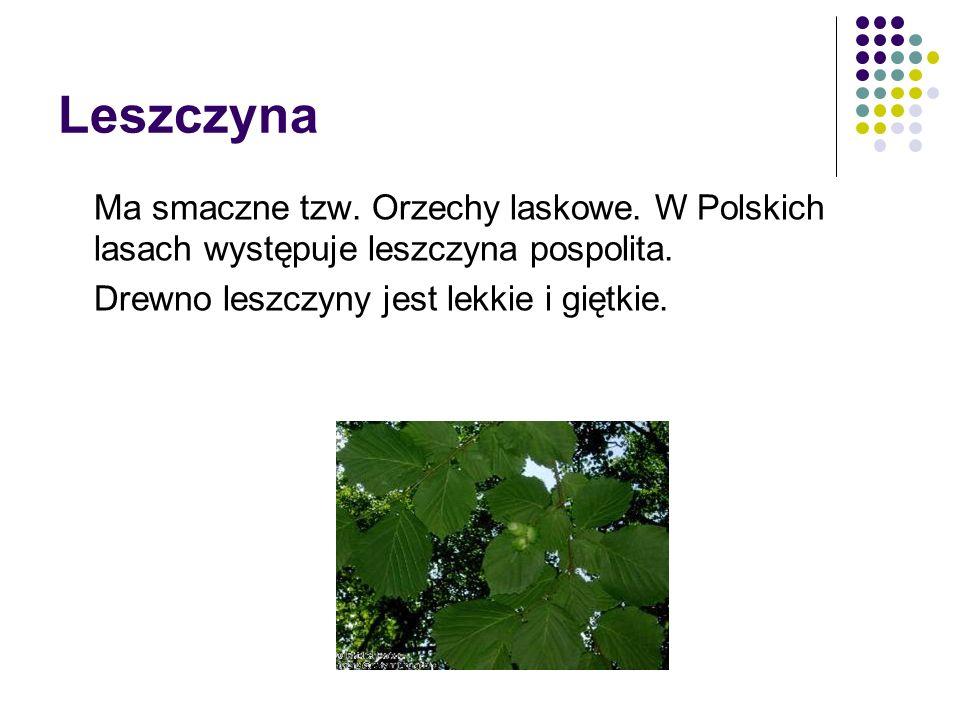 Leszczyna Ma smaczne tzw. Orzechy laskowe. W Polskich lasach występuje leszczyna pospolita. Drewno leszczyny jest lekkie i giętkie.