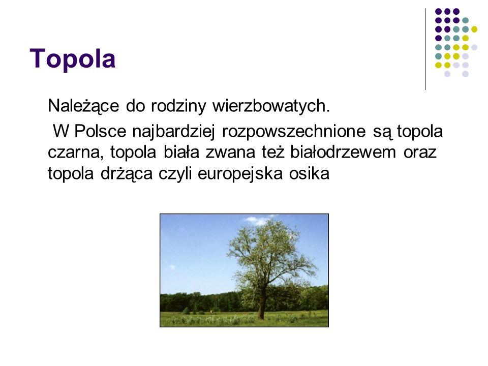 Topola Należące do rodziny wierzbowatych. W Polsce najbardziej rozpowszechnione są topola czarna, topola biała zwana też białodrzewem oraz topola drżą