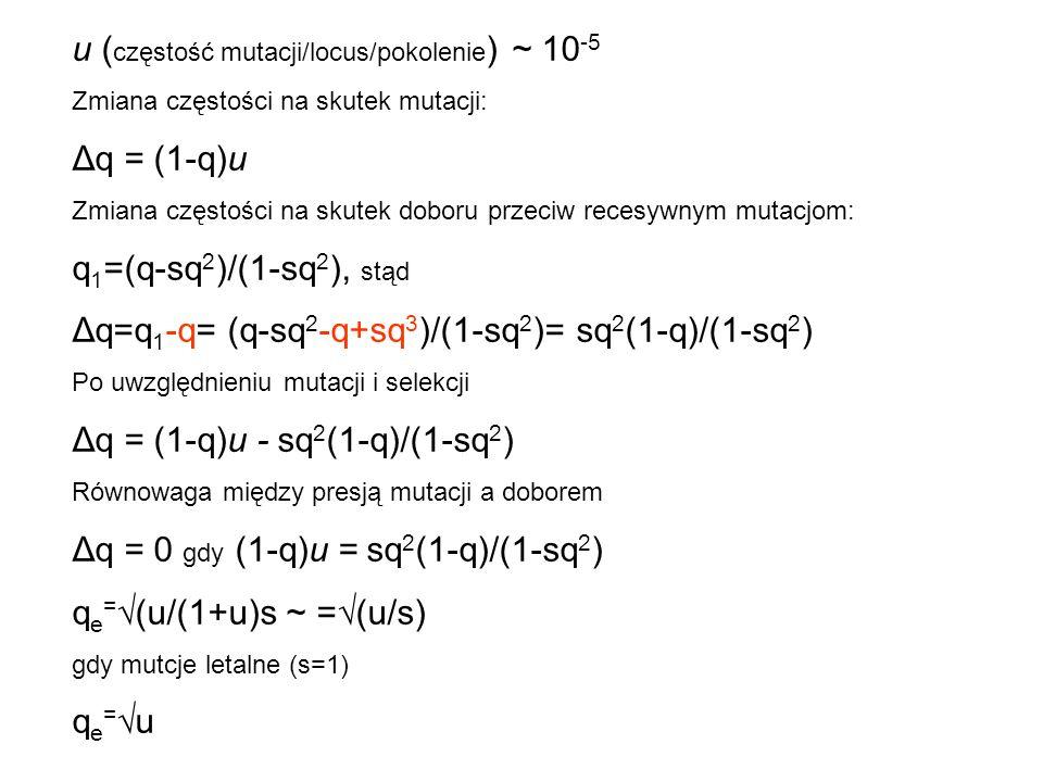 u ( częstość mutacji/locus/pokolenie ) ~ 10 -5 Zmiana częstości na skutek mutacji: Δq = (1-q)u Zmiana częstości na skutek doboru przeciw recesywnym mu