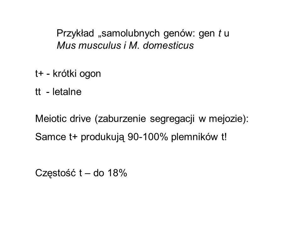 t+ - krótki ogon tt - letalne Meiotic drive (zaburzenie segregacji w mejozie): Samce t+ produkują 90-100% plemników t! Częstość t – do 18% Przykład sa
